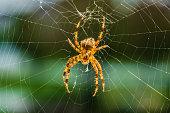 Orbweaver spider sitting on the web
