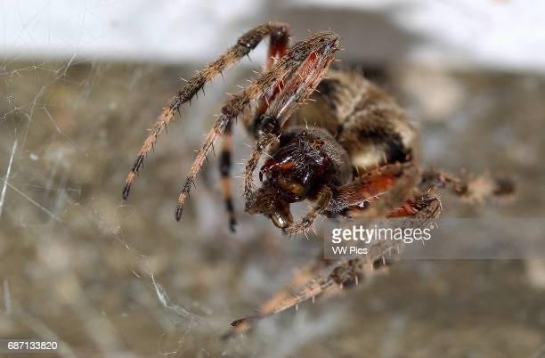 Orbweaver Spider with Prey Cross orbweaver female Southern California