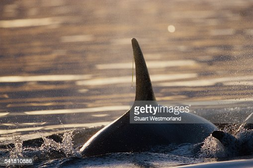 Orca Dorsal Fin
