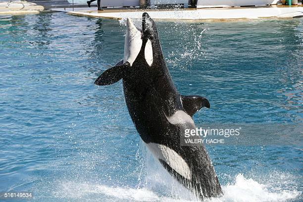 A orca jumps during a show at the Marineland on the French riviera city of Antibes southeastern France on March 17 2016 / AFP / VALERY HACHE
