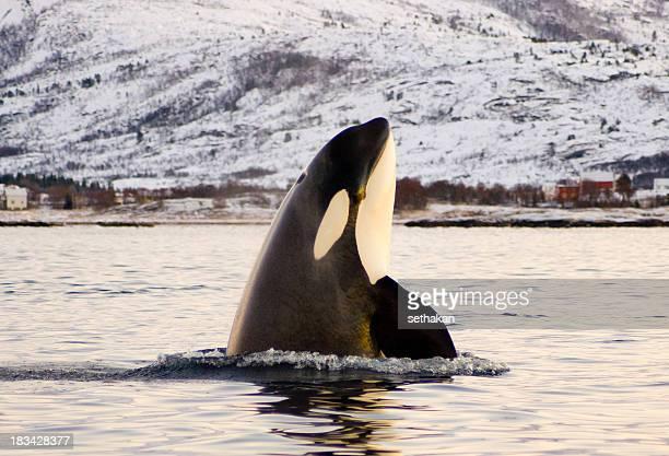 Orca, killer Whale