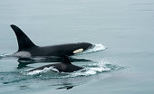 killer whales off coast of Southeast Alaska