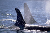 Orca Pair Near Johnstone Strait
