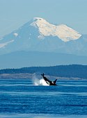 a Killer Whale breaches off the west coast of San Juan Island with Mount Baker as a back drop, Washington