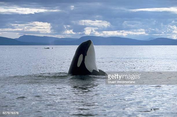 Orca Spy-Hop