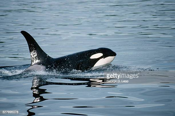 Orca Whale at Surface