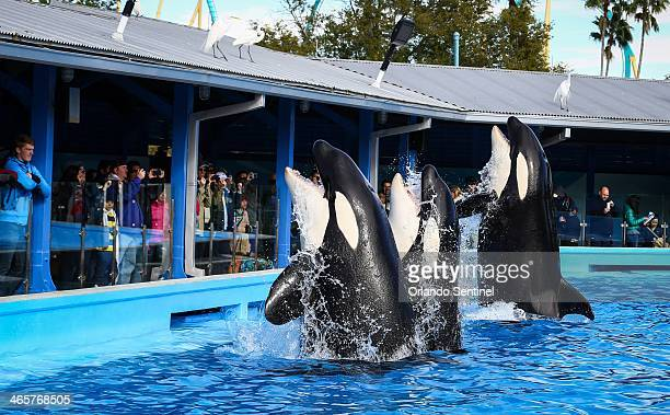 Orcas during a show at the Shamu Up Close attraction at Sea World in Orlando Fla Jan 7 2014