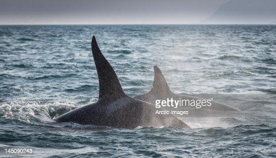 Orcas, Killer Whales, feeding, Western Iceland : Stock Photo
