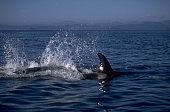 Orcas Near Johnstone Strait