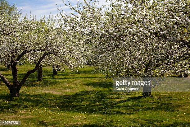 Orchard, Apple trees -Malus domestica- in blossom in spring, Bromont, Eastern Townships, Quebec Province, Canada