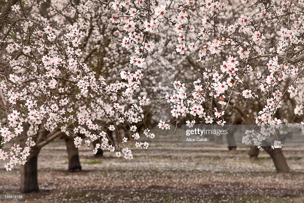 Orchard, fruit trees with pale pink blossoms