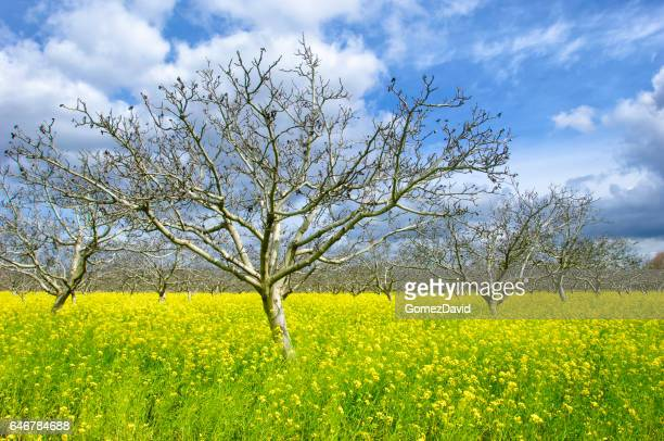 Orchard of Cherry Trees, Field Mustard and Clouds