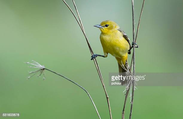 Orchard Oriole, Icterus Spurius, female bird perching in springtime
