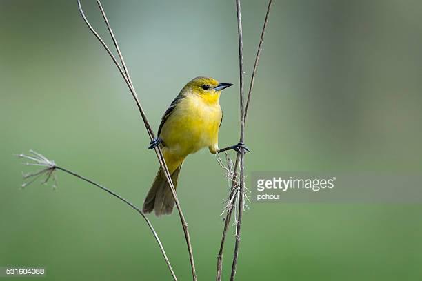 Orchard Oriole, Icterus Spurius, female bird perching in springtime