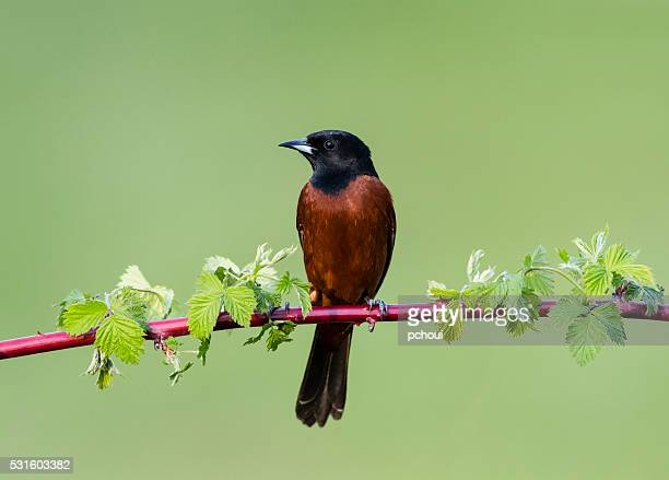 Orchard Oriole, Icterus Spurius, male bird perching in springtime