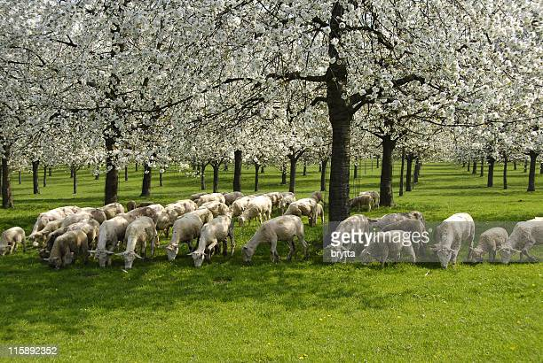 Orchard with blooming fruit trees and sheep in springtime