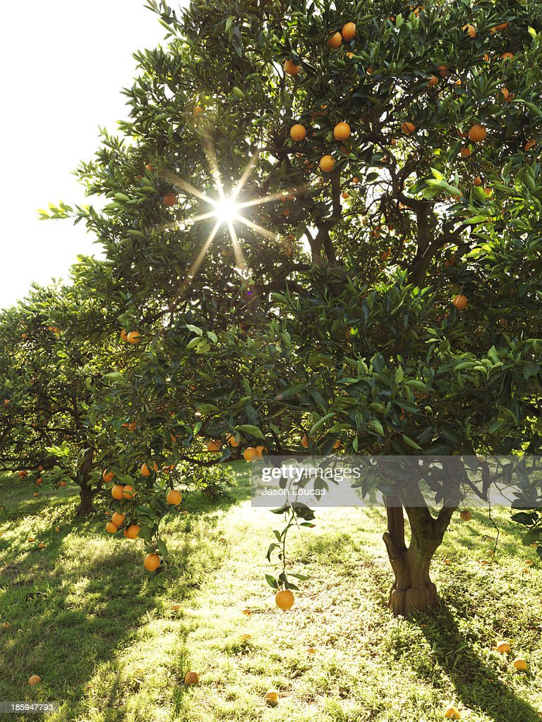 Orchards : Stock Photo