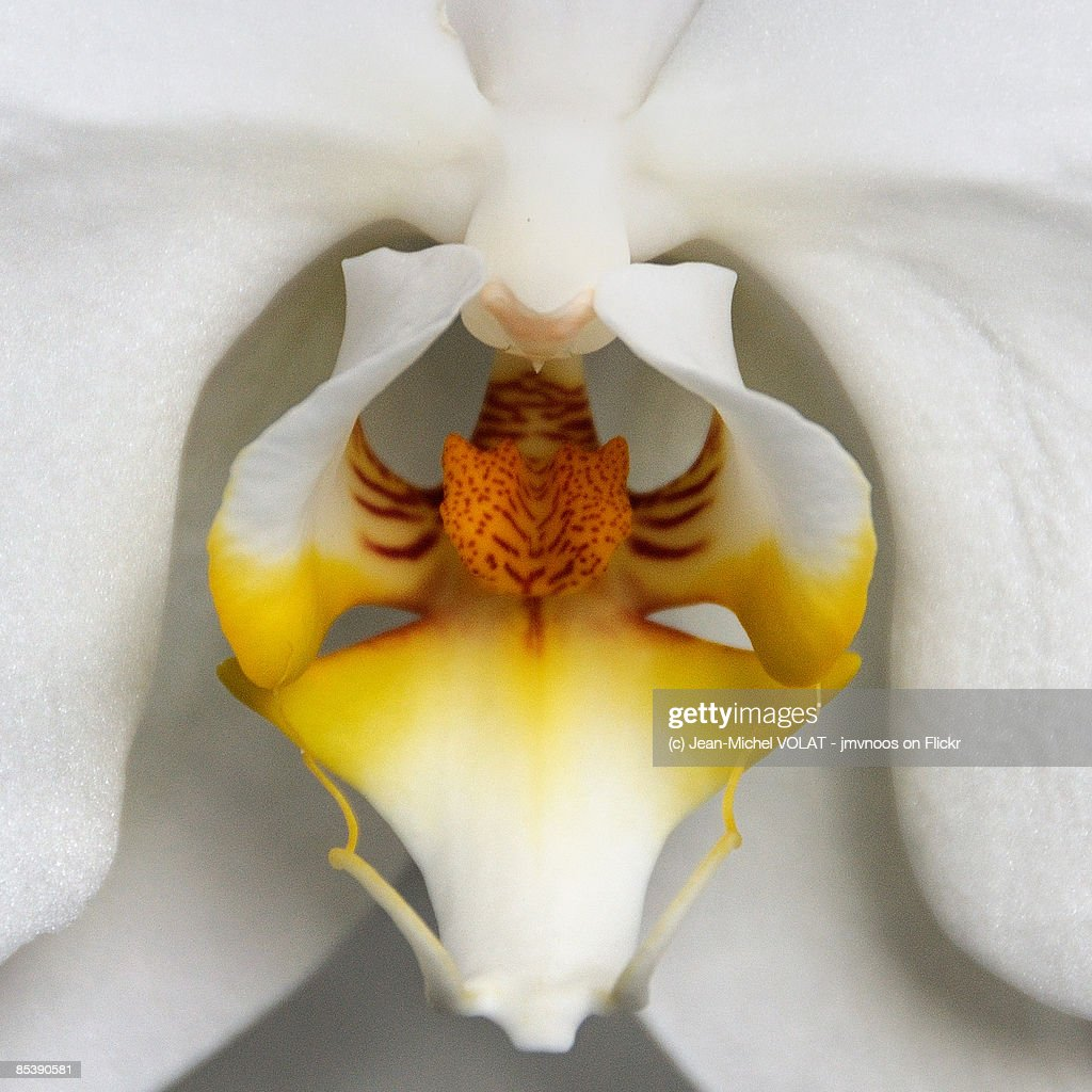 Orchid 26