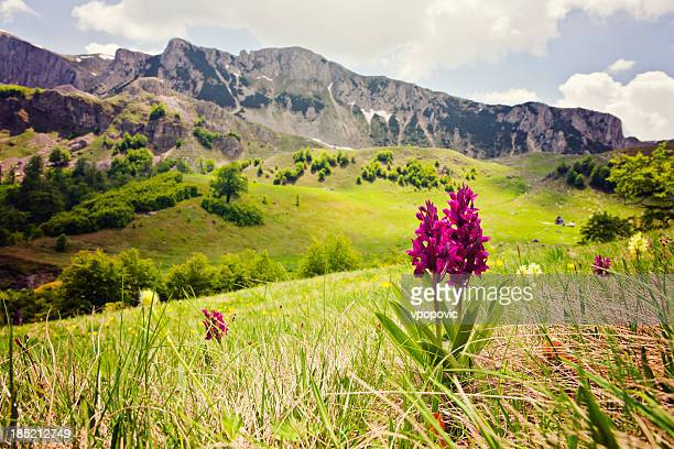 Orchid against rolling hills and mountain backdrop