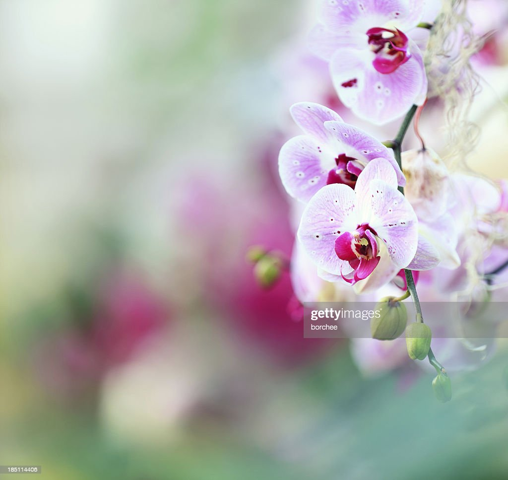 Orchid Background : Stock Photo