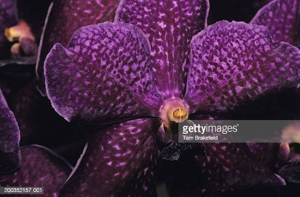 Orchid, close-up