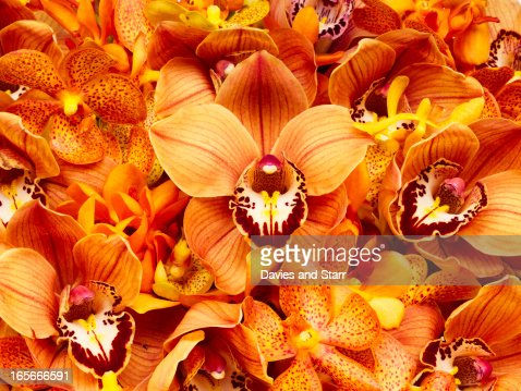 Orchid Flowers : Stock Photo
