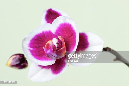 Flores de Orquídea : Foto de stock