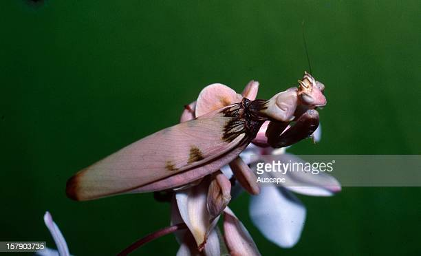 Orchid mantis adult female with broad flanges on two pairs of legs mimicking the orchid flower she is resting on These mantids are remarkable for the...