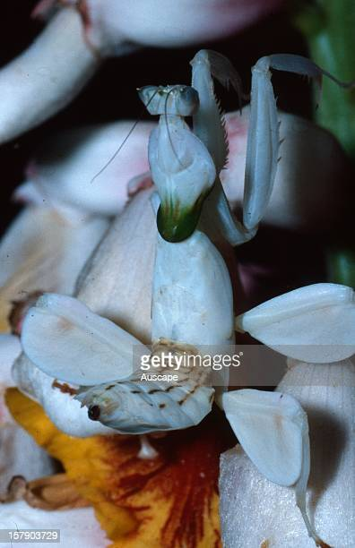 Orchid mantis nymph on a ginger flower The wide white flanges on the second and third legs closely mimic flower petals making the mantis extremely...