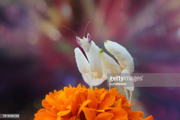Orchid Mantis on a flower, Indonesia