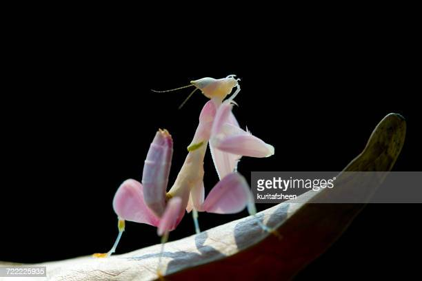 Orchid mantis on a leaf at night, Indonesia
