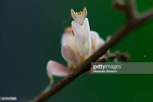 Orchid Mantis (Hymenopus coronatus)
