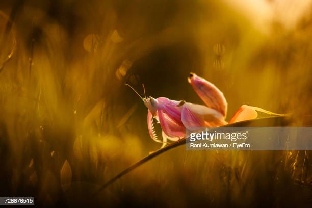 Orchid Mantis Relaxing On Grass Blade