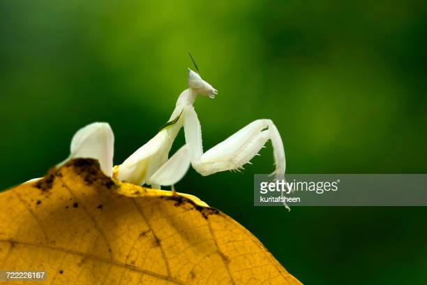 Orchid mantis sitting on a leaf, Indonesia