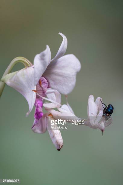 Orchid mantis with prey, Indonesia