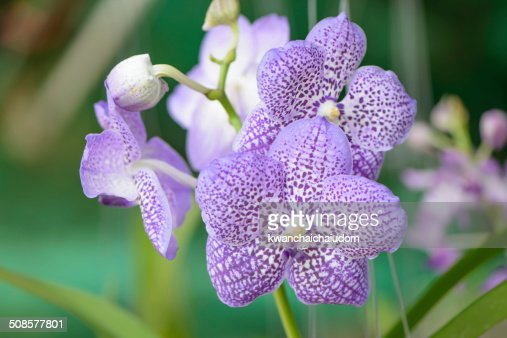 Orchid of blue vanda : Stock Photo