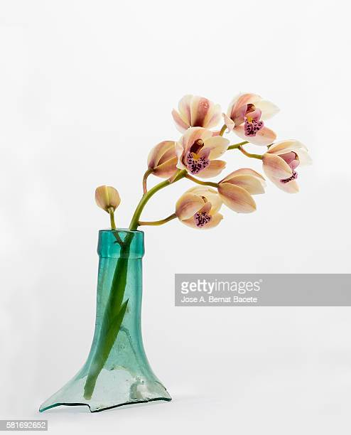 Orchid (Ophrys Cymbidium) on a white blackground, Inside a vase of torn glass