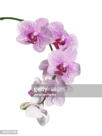 Orchid on Stem : Stock Photo