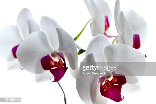 orchid on white : Stock Photo
