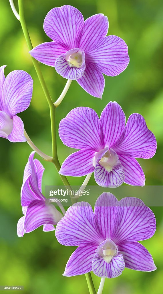 Orquídea : Foto de stock