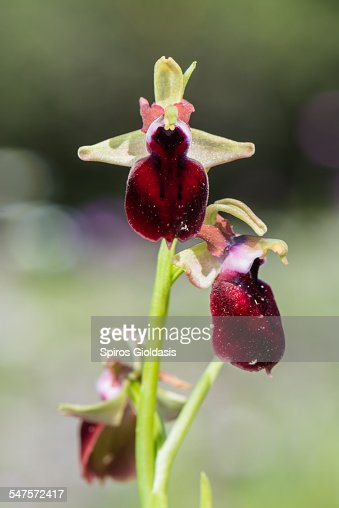 Orchid (Ophrys helenae) : Stock-Foto