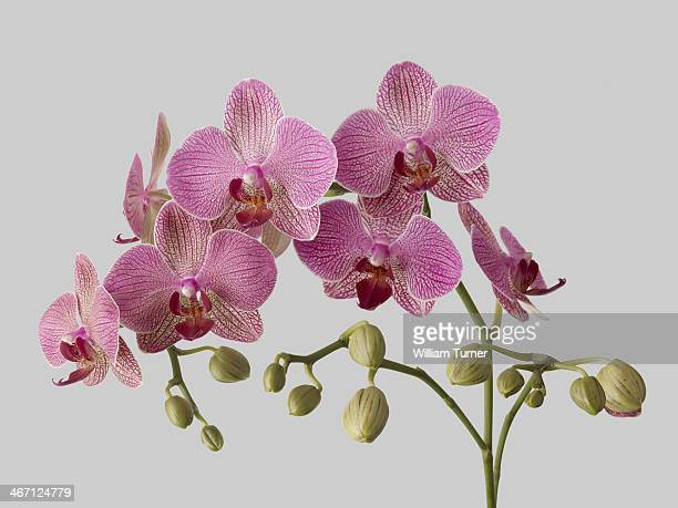 Orchid plant on grey background.