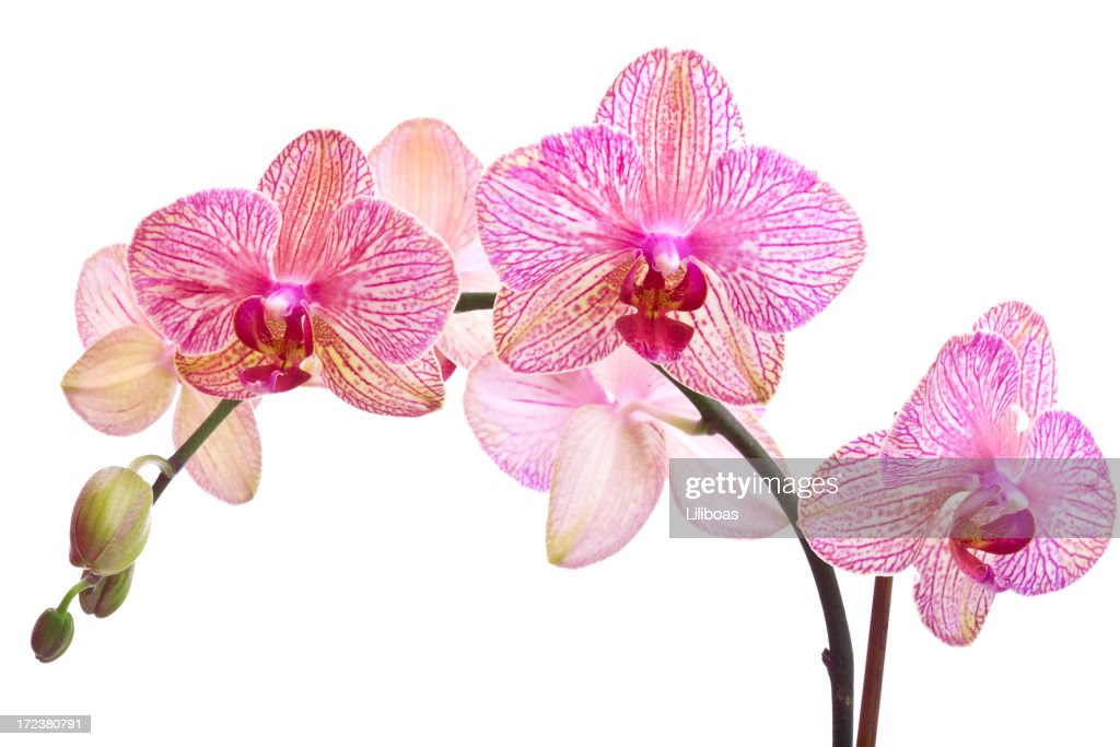 Orchid Series (XL)
