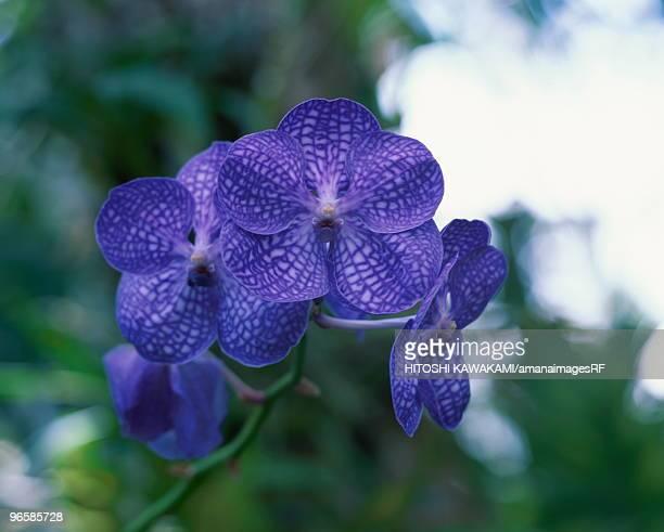 Orchid, Vanda, close up, Tokyo prefecture, Japan