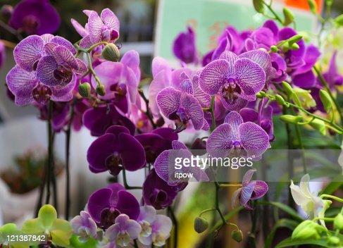 Orchids. Flower market. Hong Kong. : Stock Photo