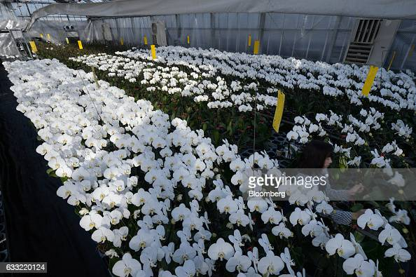Orchids grow in a greenhouse at Ushimura Orchid Farm a supplier to ArtGreen Co in Ebina City Kanagawa Prefecture Japan on Friday Jan 6 2017 Giving...