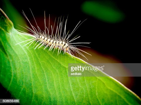 order Lepidoptera, hairy worm eating young green leaves : Stock Photo