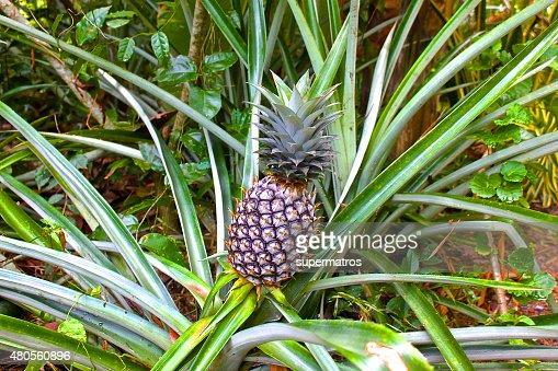 ordinary pineapple growing like grass : Stock Photo