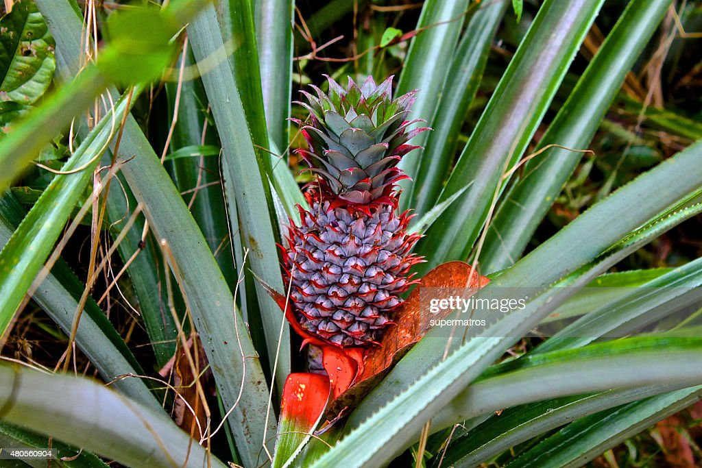 ordinary pineapple growing like grass : Stock Photo