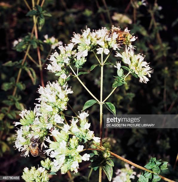Oregano Lamiaceae